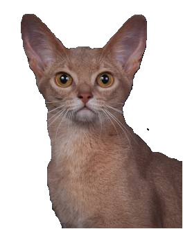 fawn Abyssinian