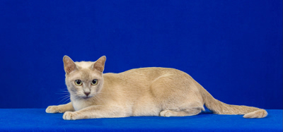 Heart of Gold - Tonkinese